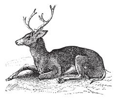 Mule deer or Odocoileus hemionus vintage engraving Stock Illustration