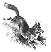 Golden jackal or Canis aureus vintage engraving Stock Illustration