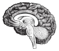 Vertical section of side view of a human brain vintage engraving. Stock Illustration