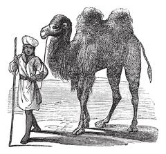 Bactrian camel or Camelus bactrianus vintage engraving Piirros