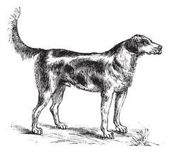Harrier or Canis lupus familiaris vintage engraving Stock Illustration