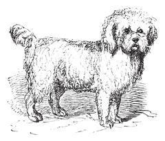 Barbet or Canis lupus familiaris vintage engraving Stock Illustration