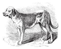 Bloodhound or Saint Hubert Hound or Sleuth Hound or Canis lupus familiaris, v Stock Illustration