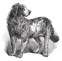 Newfoundland or Canis lupus familiaris vintage engraving Stock Illustration