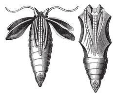 Chrysalide of a Moth vintage engraving Stock Illustration