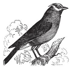 Cedar Waxwing or Bombycilla cedrorum vintage engraving Stock Illustration