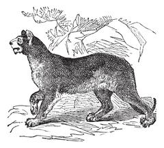Cougar or Puma or Panther or Mountain Lion or Puma concolor vintage engraving Stock Illustration