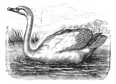 Mute Swan or Cygnus olor, vintage engraving Stock Illustration