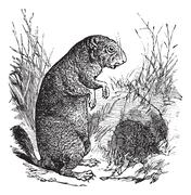 Black-tailed Prairie Dog or Cynomys ludovicianus, vintage engraving Stock Illustration