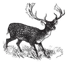 Fallow Deer or Dama dama, vintage engraving Stock Illustration