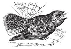 Chuck-will's-widow or Caprimulgus carolinensis, vintage engraving Stock Illustration