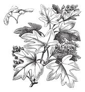Field Maple or Hedge Maple or Acer campestre, vintage engraving Stock Illustration