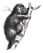 Common Porcupine or North American Porcupine or Canadian Porcupine or Erethiz Stock Illustration