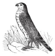 Merlin or Pigeon Hawk or Falco columbarius, vintage engraving Stock Illustration
