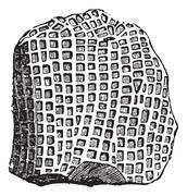 Favosites niagariensis, vintage engraved illustration Stock Illustration