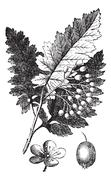 White Ash or Fraxinus americana vintage engraving Stock Illustration