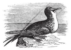 Great Frigatebird or Fregata minor  vintage engraving Stock Illustration