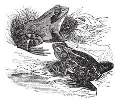 1. Wood frog (Rana sylvatica) 2.  Spring frog (Rana fontinalis) vintage engra Stock Illustration