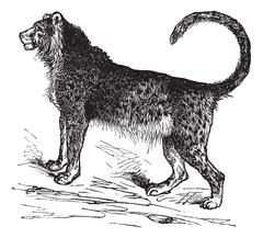 Cheetah (Acinonyx jubatus) vintage engraving Piirros