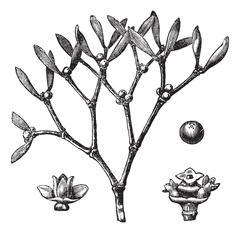 White mistletoe (Viscum album)  or European mistletoe vintage engraving Stock Illustration