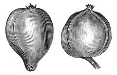 1- Pignut hickory 2. Bitternut hickory vintage engraving Stock Illustration