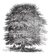 Beech tree vintage engraving Stock Illustration