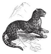 Jaguar or Panthera onca vintage engraving Stock Illustration