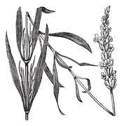Common Lavender or Lavandula angustifolia, vintage engraving Stock Illustration