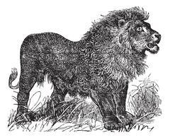 African Lion vintage engraving Piirros