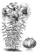 Gilded lily (Lilium auratum), vintage engraving Stock Illustration