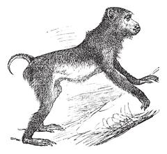 Pig-tailed macaque or Macaca nemestrina vintage engraving Stock Illustration