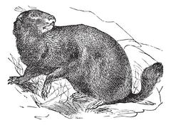 Alpine Marmot or Marmota marmota vintage engraving Stock Illustration