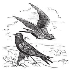 Common Swift or Apus apus vintage engraving Stock Illustration