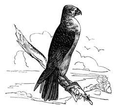 Milan Carolina (Falco furcatus), vintage engraving. Stock Illustration