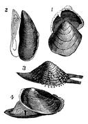 Mollusc. 1.  Nutlet; 2. Mold; 3. From Warty; 4. Anodonta ducks, vintage engra Stock Illustration