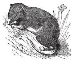 Common Shrew or Eurasian Shrew or Sorex araneus, vintage engraved illustratio Stock Illustration