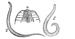 Pinworm or Threadworm or Seatworm or Enterobius vermicularis, magnified, vint Stock Illustration