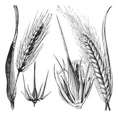 Common barley or Hordeum vulgare, Barley hinge or Hordeum distichum, vintage  Stock Illustration