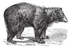 American Black bear (Ursus americanus), vintage engraving Stock Illustration