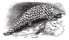 Chinese Pangolin or Manis pentadactyla vintage engraving Stock Illustration