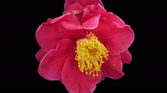 Time-lapse of dying red camellia flower in RGB + ALPHA matte format Stock Footage