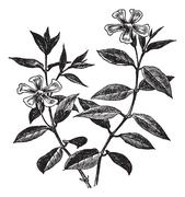 Periwinkle or Vinca minor, vintage engraving Stock Illustration
