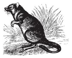 Long-nosed Potoroo or Potorous tridactylus vintage engraving Stock Illustration