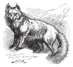 Arctic Fox or Vulpes lagopus vintage engraving Piirros
