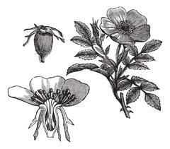 Carolina rose or Rosa carolina vintage engraving Stock Illustration