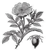 Sweet briar or Rosa rubiginosa vintage engraving Stock Illustration