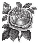 Rose Hazelnut or Rosa noisettiana vintage engraving Stock Illustration