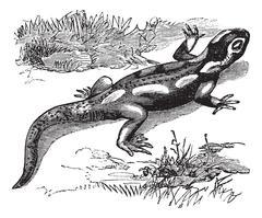 Spotted Salamander or Ambystoma maculatum vintage engraving Stock Illustration