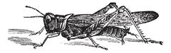 Rocky Mountain Locust or Melanoplus spretus vintage engraving Stock Illustration