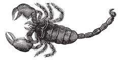 Black Scorpion (Scorpio afer), vintage engraving. Stock Illustration